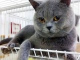 猫舍直销加菲猫蓝猫折耳猫包健康长相甜美 多只可选