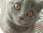 出售自家养的蓝猫