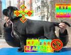 诚信卖狗 专业繁殖拉布拉多犬 检查健康后再抱走签协议