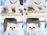 天津渐层 布偶 蓝猫出售 全国发货