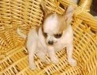 高品质苹果头吉娃娃幼犬,不一样的吉娃娃犬