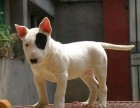 重庆哪里卖牛头梗犬幼犬重庆牛头梗多少钱一只海盗眼牛头梗纯白