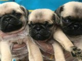 西安狗狗之家长期出售高品质 巴哥 售后无忧