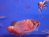 金龙鱼两条便宜卖