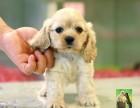 赛级品质可卡幼犬 质量保证 免疫齐全CKU专业认证