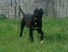 冠军品质的传承!高端纯血统重头版大骨量卡斯罗幼犬