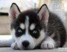 长沙狗狗之家长期出售高品质 哈士奇 售后无忧