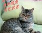 自家繁育的加菲猫宝宝寻求代理