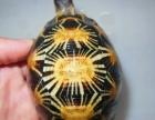 可爱乌龟批发菜龟嗨龟苗