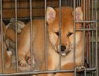 哪里有卖柴犬的 柴犬的价格怎么样 柴犬一般多少钱