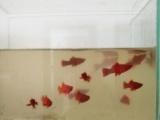 转让自家繁殖鸳鸯燕鱼,红剑鱼
