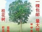 八年生桂花树。有丹桂,血桂,银桂和八月桂
