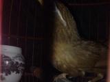 本人从事画眉鸟养殖