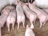 育肥猪怎么喂养长得快 养殖户用优农康效益高