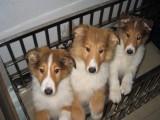 正规犬舍繁殖的喜乐蒂 品种纯正 保证健康 保证血统