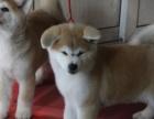 高品质日系 秋田犬幼崽出售 保纯保健康可签协议