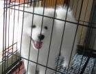 佛山哪里买萨摩耶好 纯种萨摩耶 宠物狗萨摩耶出售