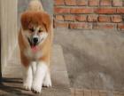 哪里有卖秋田犬的 秋田一般多少钱 上海有卖秋田的吗