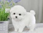 活泼可爱绝顶聪明的比熊幼犬大眼睛圆脸卷毛小型犬