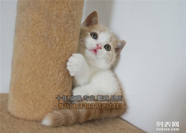沧州买猫 自家种猫繁殖 健康纯种英国短毛猫 银渐层蓝白可上门
