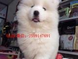 繁殖基地一专业繁殖萨摩幼犬一场家直销品质保证