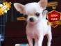 冠军后代双血统吉娃娃一窝 证书可查可以看狗父母