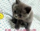 纯种英短蓝猫宝贝