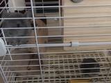 紫灰色龙猫一对转让