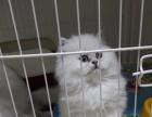 福州灰太狼猫舍出售加菲猫,美短,暹罗猫