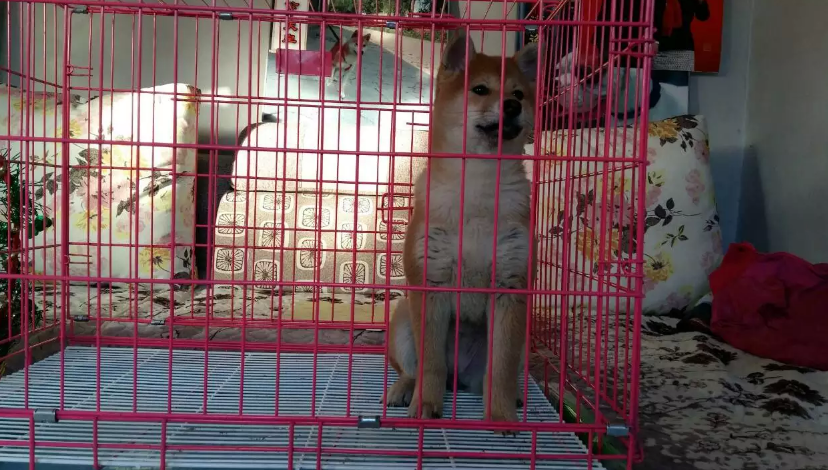 天水柴犬怎么卖的 天水日系柴犬多少钱 天水柴犬的价格