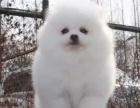 重庆哪里出售博美犬 重庆宠物店信誉好