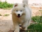 正规狗场出售微笑天使般的萨摩耶幼犬 签订协议