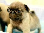 狗场里的八哥犬能不能养活 价格贵不贵