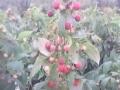 维佳浆果园艺供应优质树莓苗、双季树莓苗木、黑加仑苗、蓝莓苗木