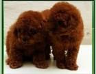上海哪里有卖泰迪上海泰迪犬多少钱上海泰迪犬好养吗上海泰迪视频