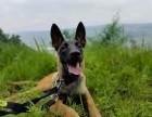 精品马犬 保纯保健康 疫苗和驱虫均已做完 可签协议