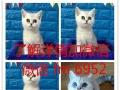英国短毛猫银渐层立耳活体幼猫健康