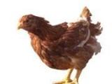 海兰褐青年鸡,青年鸡,脱温鸡