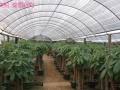 南宁植物租摆 花卉绿植销售 盆栽批发 年桔免费配送