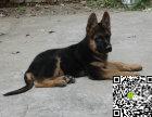 纯种德国牧羊犬价格 纯种德国牧羊犬多少钱
