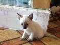 暹罗猫宝宝低价出售