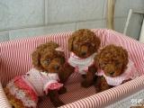 韩系 精品超小体玩具型泰迪熊 性价比较高 多窝选择