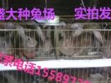 大型肉兔种兔养殖场肉兔价格