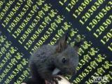 魔王松鼠便宜出售,黄山松鼠金花松鼠批发