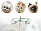 纯种短毛猫银渐层 美短 英短 蓝猫出售疫苗全