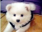 上海最大最权威--专业繁殖纯种 银狐犬幼犬-加微信聊上门半价