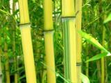 北京竹子基地常年销售早园竹金镶玉竹紫竹送货上门