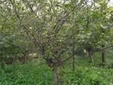 湖南15公分臭椿树基地出售