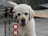 纯种犬舍直销拉布拉多幼犬可以送货到家挑选