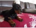 杜宾犬繁殖基地现售优质德系杜宾幼犬终身质保
